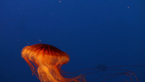 Orange Jellyfish stock footage