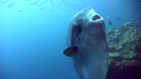 Oceanic Sunfish (mola-mola) With School Of Fusilier In Background, Tilt Up stock footage