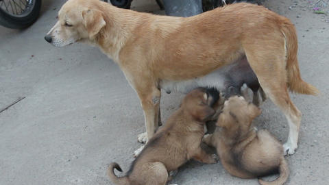stray dog feeding ??puppies on the street Footage