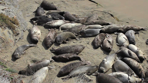 Baby Elephant Seal Crying On The Beach Footage