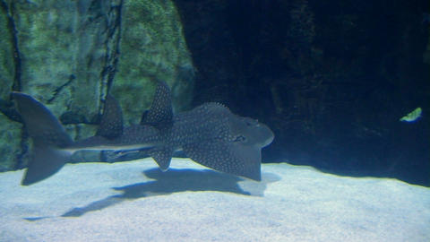 Shark Ray Swimming Footage