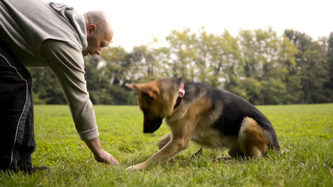 Dog Trainer Feeding and Doing Exercise with German shepherd Footage