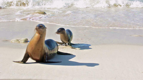 Galapagos Sea Lion mother and pup on Genovesa Isla Footage