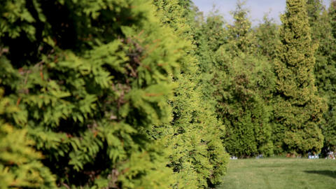 Focus On Fir Row In Windy Sunny Day Focus On Fir Row In Windy Sunny Day stock footage