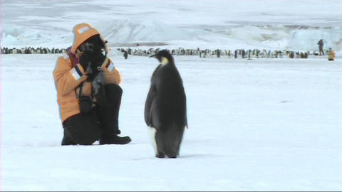Emperor penguin looking at tourist Footage