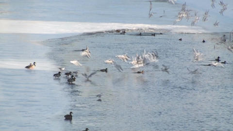 Flock Of Flying Seagulls Over A Frozen River Footage