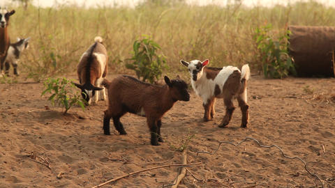 Goats And Kids stock footage