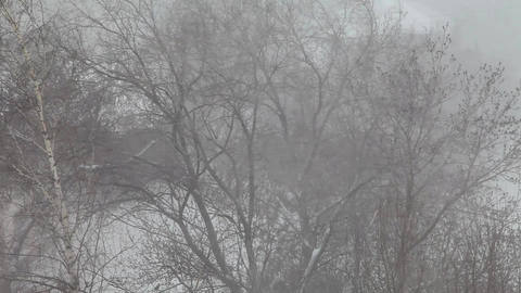 Strong wind shakes the trees. It's snowing Footage
