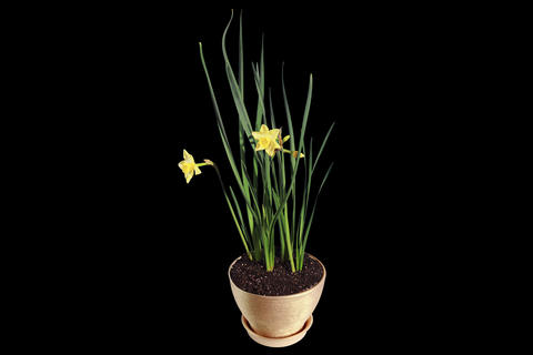 4K. Yellow Narcissus Blossom Buds ALPHA Matte, Ult stock footage