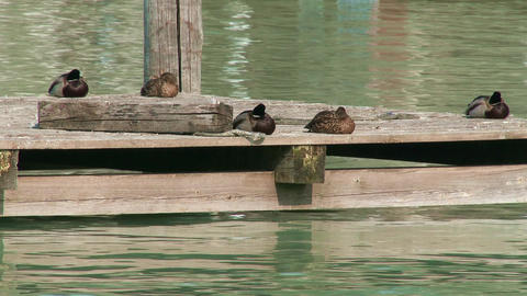 Dabbling Ducks On Deck 1 stock footage