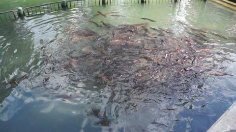 Catfish In Artificial Lake stock footage