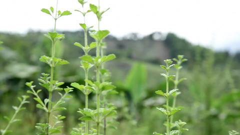 Oregano stock footage