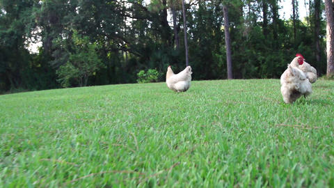 Free Range Chickens Slow Motion stock footage