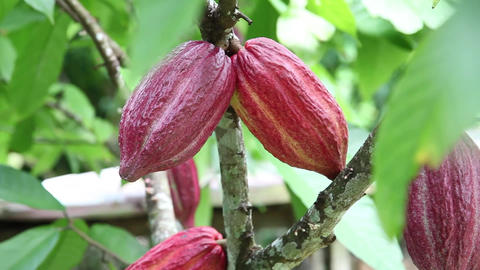 Cocoa Plant Rack Focus stock footage