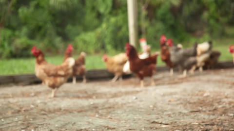 Chickens And Fence Rack Focus stock footage