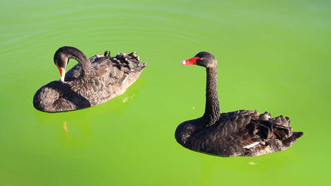 Couple Of Swan Floating On Green Background stock footage