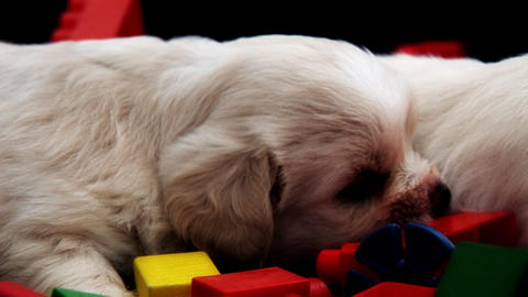 2 White Puppies stock footage