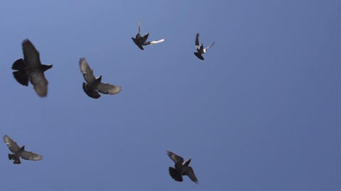 Flying Pigeons Bottom View stock footage