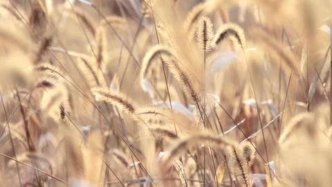 Dog Tail Grass In The Sunshine Of Autumn; stock footage