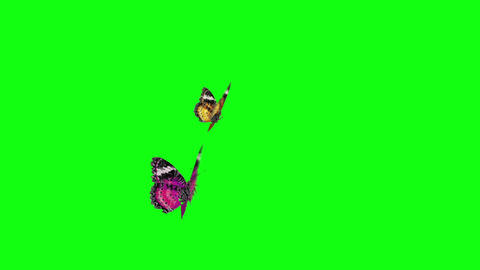 Couple Butterfly Warm Color stock footage