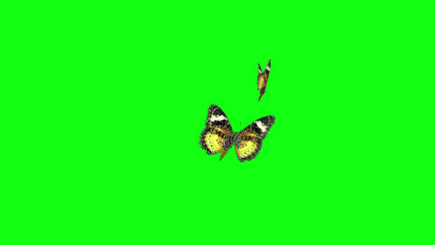 Yellow Couple Butterfly Greenscreen stock footage