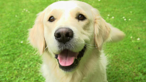 Slow Motion Sequence Of Happy Golden Retriever Dog stock footage
