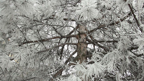 Pine trunk in the snowy branches. Smooth movement of the camera Footage