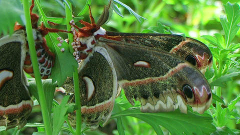 Cecropia Moths Mating 02 stock footage