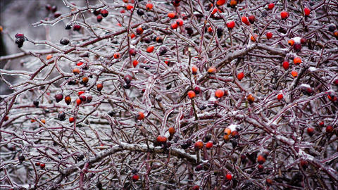 Bush With Berries Of Wild Rose In The Ice Fantastic Picture stock footage