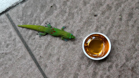 Gecko Snack stock footage