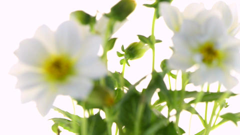 White Dahlia stock footage