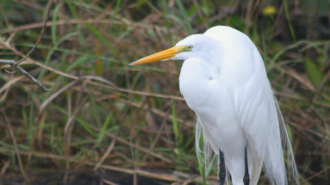 Great White Heron Footage