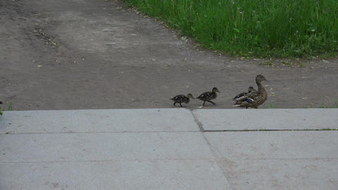 A Mother Duck And Ducklings Cross The Road. 4K stock footage