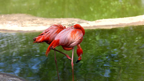 Flamingo Stand In Water stock footage
