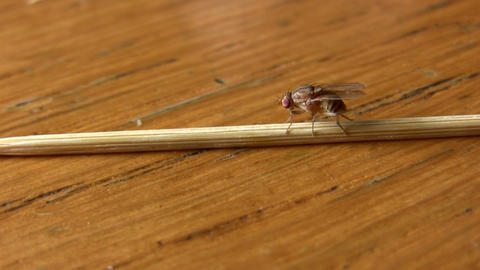 House Fly Insect On Toothpick On Food Table stock footage