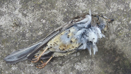 Dead Bird (mistle Thrush) On A Concrete Floor stock footage