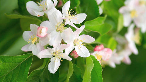 Blooming apple tree Footage
