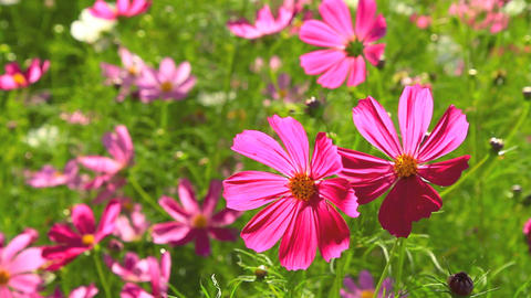 Cosmos Flower Field stock footage