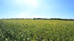 Soybean Field 2 stock footage