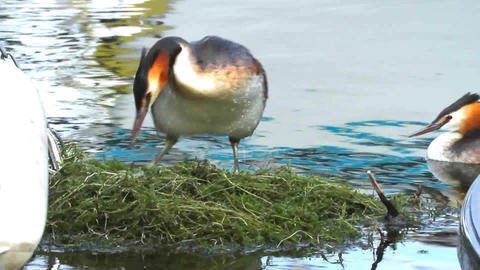 Crested grebe, podiceps cristatus, duck on nest Footage