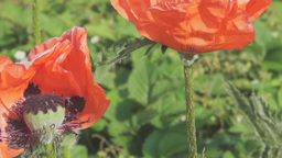 Big Oriental Poppy Flowers stock footage