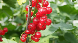 Bunch Of Red Currants On The Branch stock footage