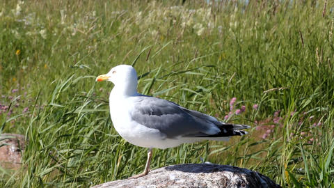Seagull Looks Around Sitting On A Stone Among Reed stock footage