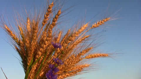 Wheat Bunch stock footage