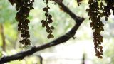 Fresh Grapes Growing In Garden - Agriculture - Farm stock footage
