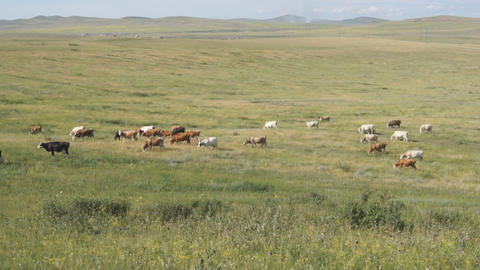 Cows pasturing in the steppe 01 Footage