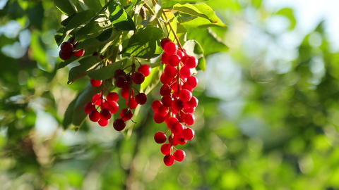 Bunch Of Bird Cherry stock footage