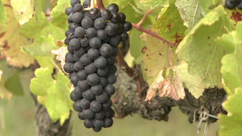 Bunch Of Ripe Grapes stock footage