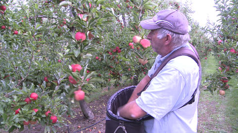 Picking Apples stock footage