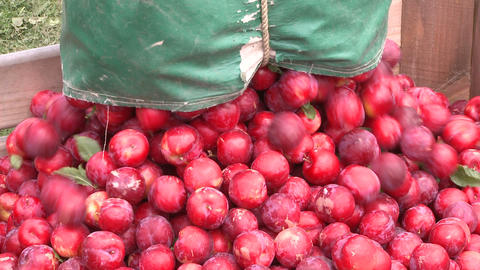 Harvested Plums Put Into A Bin stock footage